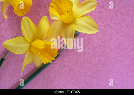 Narcissus Tete a Tete overhead on a textured pink background.With copy space. - Stock Image