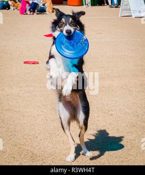 USA, Arizona, Buckeye. Dog catching a frisbee. Credit as: Wendy Kaveney / Jaynes Gallery / DanitaDelimont.com - Stock Image