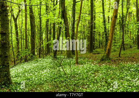 Ramsons, or Wild Garlic, in woods just to the North of Cardiff, South Wales, in May - Stock Image
