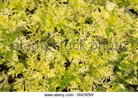 Artemisia vulgaris - variety is Oriental Limelight - Stock Image