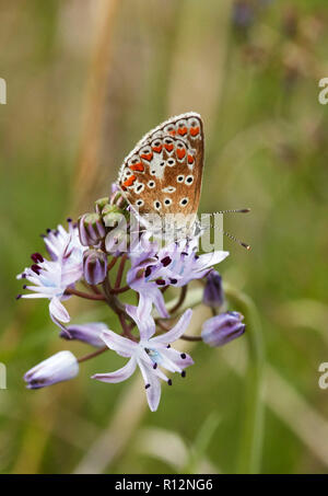 Brown Argus nectaring on Autumn Squill at its only recorded location in Surrey. Hurst Park, East Molesey, England. - Stock Image