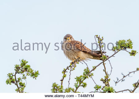 Common Kestrel (Falco tinnunculus) perched on a tree - Stock Image