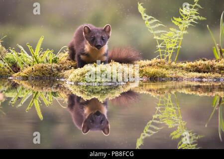 Pine marten (Martes martes) reflected in woodland pool, Ardnamurchan, Lochaber, Scotland, UK, June. - Stock Image