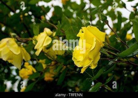 Yellow roses growing in a garden in north west Italy. They are wet from recent rain - Stock Image