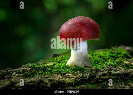 Red Mushroom Growing On Forest Floor, Pennsylvania USA - Stock Image