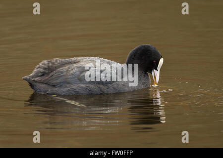 A Coot (Fulica atra) on water - Stock Image