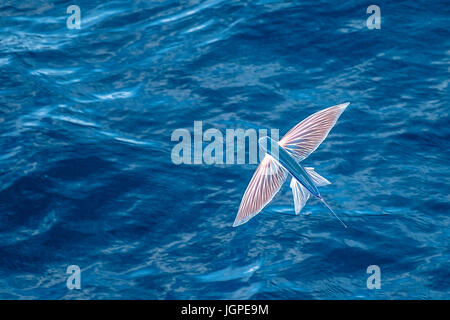 Sailfin Flying Fish, Parexocoetus brachypterus, in mid air, several hundred miles off Mauritania, North Africa, - Stock Image