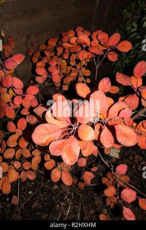 Leaves of Smoke bush in autumn - Stock Image