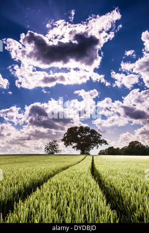 Tractor wheel tracks through a field of wheat ready to ripen for harvest. - Stock Image