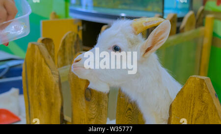 Woman feeding white goat - Stock Image