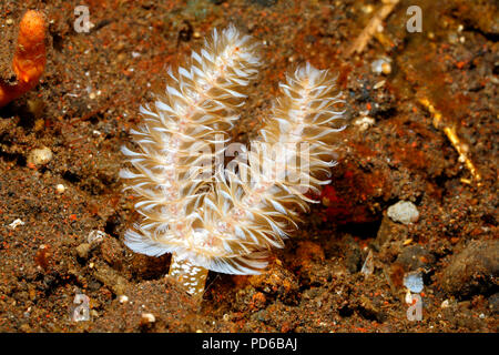 California Horseshoe Worm, Phoronopsis californica. Tulamben, Bali, Indonesia. Bali Sea, Indian Ocean - Stock Image
