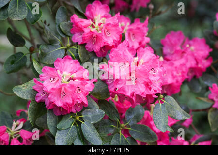 Rhododendron 'Rosalind' flowers. - Stock Image