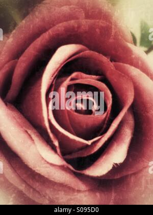 Close-up of the pedals to an old pink rose. - Stock Image