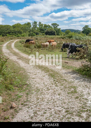 Dirt track running through field with grazing cow herd / cattle grazing. - Stock Image