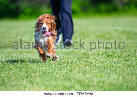 Adorable cocker spaniel dog running ahead of its owner on a green grass field during the daytime - Stock Image