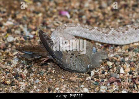 A Western Diamondback rattlesnake (Crotalus atrox) strikes, catches and then swallows a Morning Dove (Zenaida macroura). (Arizona) - Stock Image