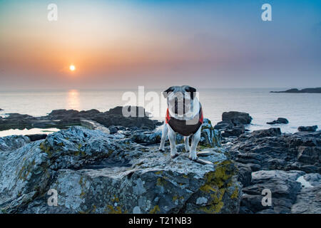 Mousehole, Cornwall, UK. 30th Mar, 2019. UK Weather. Early morning mist soon lifted at sunrise, with the promise of another fine day ahead for south west Cornwall. Titan the pug out on the rocky beach for his morning walk. Credit: Simon Maycock/Alamy Live News - Stock Image