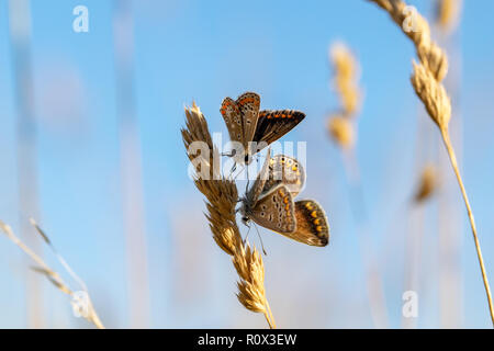 Mating pair of Common Blue Butterflies - Stock Image