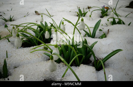 Galanthus. Beautiful spring flowers in the wild. Snowdrops in nature. First spring flowers snowdrops in the woods. Wild white snowdrops in the snow. - Stock Image
