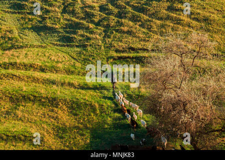 Shepherd (herdsman) leading a flock of goats through the green grass to the stall from the pasture - Stock Image