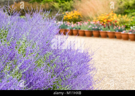 Perovskia Blue Spire, a deciduous subshrub with violet blue flowers during late summer and early autumn, England, - Stock Image