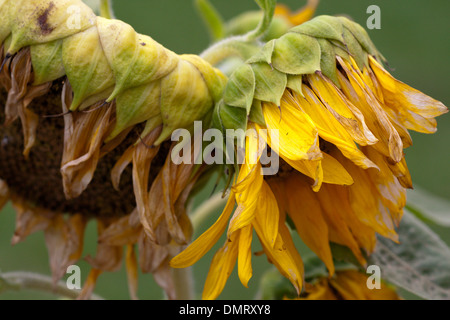 sunflower yellow bright colorful - Stock Image