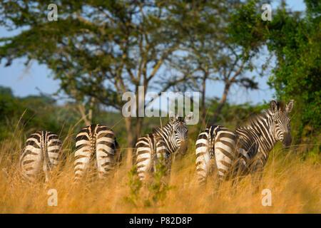 Zebra, Zebras,  Equus Quagga at Lake Mburo National Park, Uganda, East Africa - Stock Image