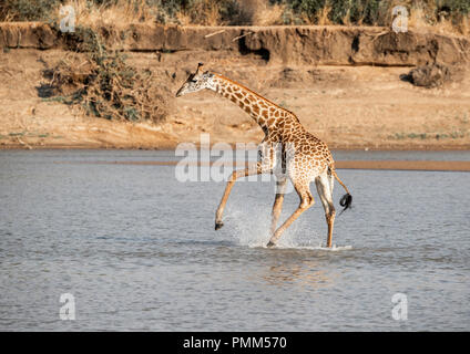 Thornicroft's giraffe, nervous of crocodiles,  splashes as it crosses a low point in the Luangwa River, South Luangwa, Zambia. - Stock Image