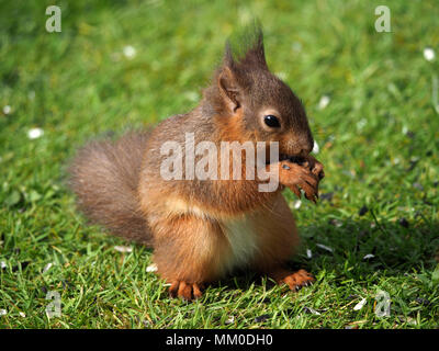 Crosby Ravensworth, Cumbria UK. 9th May 2018. A native red Squirrel (Sciurus vulgaris) kit helps itself to birdfood in Cumbrian Garden Credit: Steve Holroyd/Alamy Live News - Stock Image