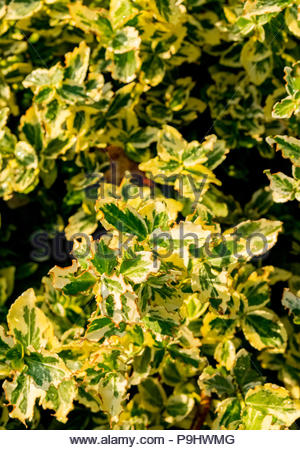 Damage to leaves of 'Emerald 'n Gold'Euonymus fortunei, probably caused by black vine weevil (Otiorhynchus sulcatus) - Stock Image