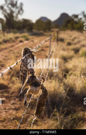 Dead bird caught in barbed wire fence - Stock Image