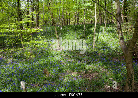 Bluebells flowering in woodland beside former colliery tramway now footpath near Poynton Cheshire England - Stock Image