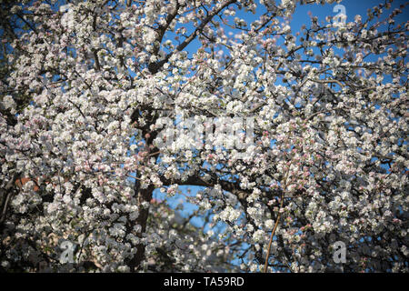 A big white blooming tree in a day light. Spring time. Mid shot - Stock Image