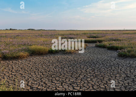 Sea Lavender on dry, parched marsh flats at Breydon Water, Great Yarmouth, Norfolk, UK. - Stock Image