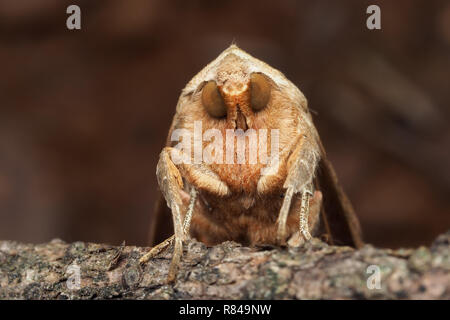 Frontal view of Angle Shades moth (Phlogophora meticulosa) perched on a conifer branch. Tipperary, Ireland - Stock Image