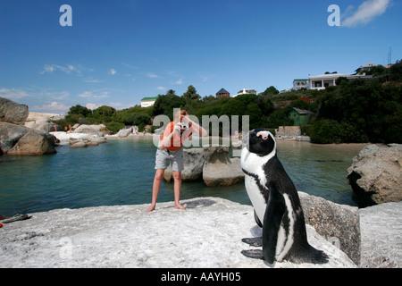 SA simon s town boulders beach jackass penguin on a rock tourist taken pictures - Stock Image