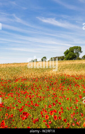 Red Poppies, Barley and Cirrus Clouds - Stock Image