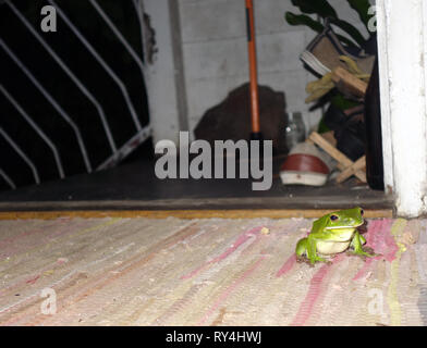 White-lipped green treefrog (Litoria infrafrenata) has come inside out of the rain, wet season in Cairns, Queensland, Australia. No PR - Stock Image