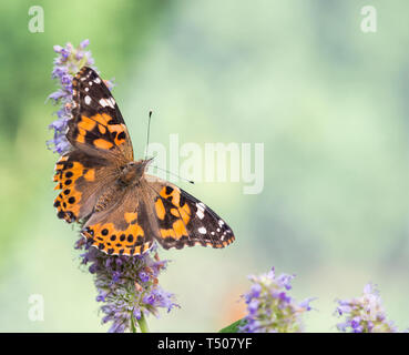 A painted lady butterfly (vanessa cardui) with wings spread open - top view on a natural green background - Stock Image