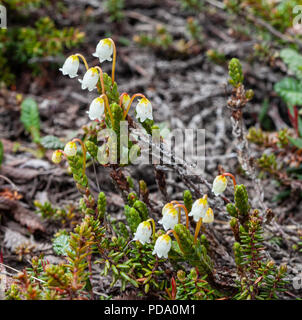 Delicate flowers of the Arctic Bell Heather Flower on the tundra of Nome, Alaska - Stock Image