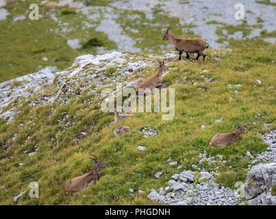 Ibexes at Tomlishorn - Stock Image
