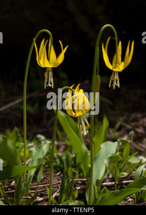 Yellow Avalanche-lily (Erythronium grandiflorum) a sure sign of spring in the High Country, is one of the first to bloom as the snow melts in the moun - Stock Image