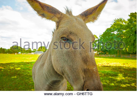 Stock close up portrait photo of a donkey in a field Lancashire showing concentrating on the eyes Equus africanus - Stock Image
