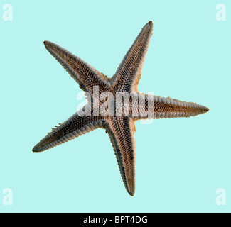 Starfish on a plain light blue background - Stock Image