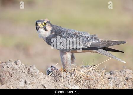 Lanner Falcon (Falco biarmicus) feeding on a dead bird in Amboseli National Park, Kenya - Stock Image