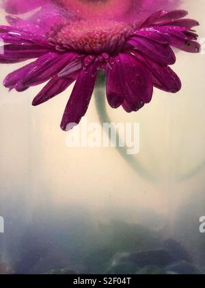 A pink gerbera daisy flower submerged in a glass vase with murky plant water. - Stock Image