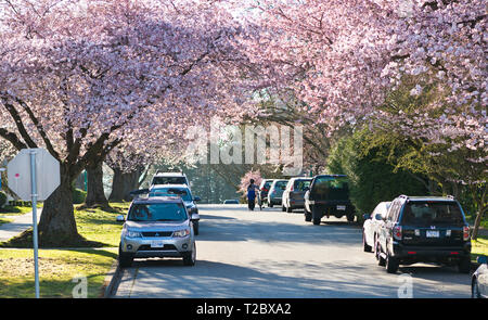 Street filled with cherry blossoms in Metro Vancouver (Burnaby), BC, Canada. - Stock Image