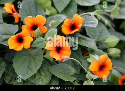 Black-eyed Susan Vine or Clock Vine, Thunbergia alata, Acanthaceae. Tropical Eastern Africa. - Stock Image