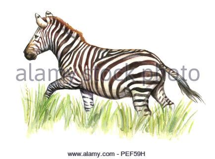 quilted zebra hippotigris quagga boehmi - Stock Image