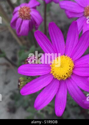Pink daisy - Stock Image
